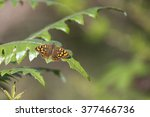 Canary Speckled Wood Butterfly...