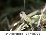 arizona hummingbird | Shutterstock . vector #37748719