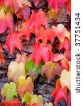 colorful ivy leaves in the fall | Shutterstock . vector #37751434
