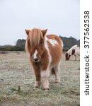 Shetland Pony The New Forest