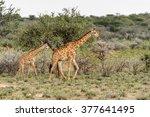 two giraffes in the erindi... | Shutterstock . vector #377641495