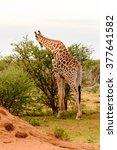 giraffe eats in the erindi... | Shutterstock . vector #377641582