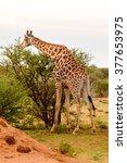 giraffe eats in the erindi... | Shutterstock . vector #377653975
