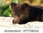 Small photo of arctic fox of Commander Islands (Aleutian archipelago)