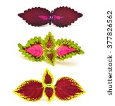Small photo of Painted nettle - coleus isolated on white background