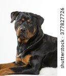 Rottweiler Portrait. Image...