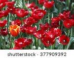 tulips. | Shutterstock . vector #377909392