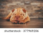 Shar Pei Puppy Sleeping On The...