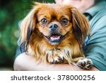 Small Brown Pekingese Dog In...