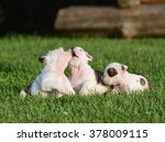 Stock photo english bulldog puppies playing outside in the grass 378009115