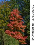 Small photo of Acer rubrum in autumn in park in Pillnitz, Germany