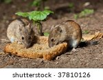 The Wild Wood Mouse Eats A Fre...
