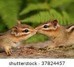 two baby chipmunks nuzzling | Shutterstock . vector #37824457