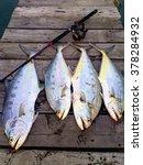 Talang Queen Fish Big Silver...