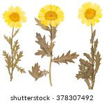 yellow pressed flowers and... | Shutterstock . vector #378307492