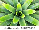 Large Bromeliad.   Closeup Of ...