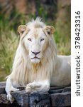 Small photo of Portrait of albino lion.