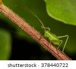 speckled bush cricket