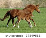 A Horse Mare With Foal Gallop...