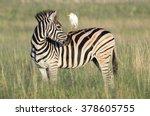 A Zebra Looks Over Its Shoulde...