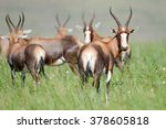 A Herd Of Blesbok On Grassy...
