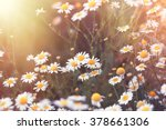 Daisy Flower   Wild Chamomile