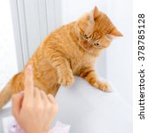 Stock photo yellow ginger cat pet playing 378785128