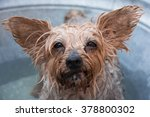 yorkshire terrier dog unhappy...