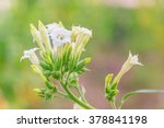 nicotiana tabacum | Shutterstock . vector #378841198