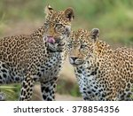 Two African Leopards Standing...