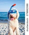 Stock photo italian waterdog at the beach 378882088