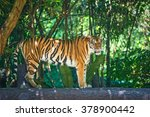 Sumatran Tiger Stand On The...