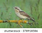 birds   wryneck  jynx torquilla  | Shutterstock . vector #378918586