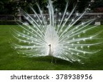 White Peacock On A Background...