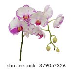 Beautiful Phalaenopsis Blume...