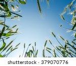 barley seeds in the farm field...   Shutterstock . vector #379070776