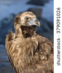 Small photo of Portrait of Cinereous vulture (Aegypius monachus) (Focus on the eye)