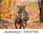 warthog  phacochoerus africanus ... | Shutterstock . vector #379107592