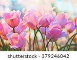 Pink Tulips In Flower...