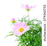 Cosmos Flower Isolated On Whit...