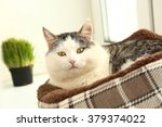 Stock photo siberian breed cat close up portrait on the windowsill lay in cat bed and grass in pot 379374022