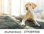 cute labrador dog on gray... | Shutterstock . vector #379389508