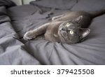Stock photo adorable russian blue cat mix relaxing on owner s bed with gray sheets 379425508
