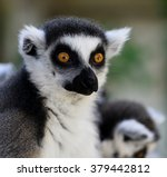 ring tailed lemur  | Shutterstock . vector #379442812