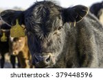 Black Angus Calf Face Lit From...