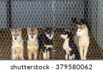 Husky Puppies  In The Dog Kennel