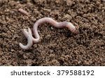 Earthworm In Soil   Closeup Shot