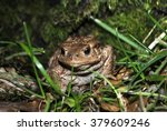 close up of a big forest toad... | Shutterstock . vector #379609246