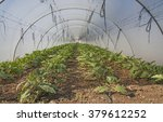 eggplant in greenhouse | Shutterstock . vector #379612252