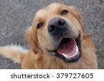 Stock photo dog golden retriever having a big smile focus on mouth 379727605
